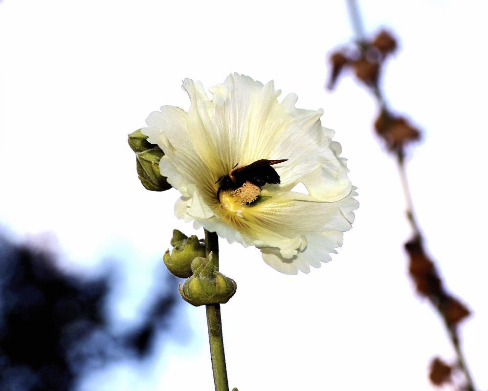 Bee flower 062