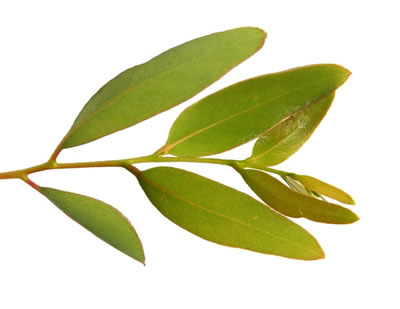 eucalyptus-feuille.jpg