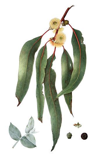 eucalyptus-globulus-feuillesjpg.jpg