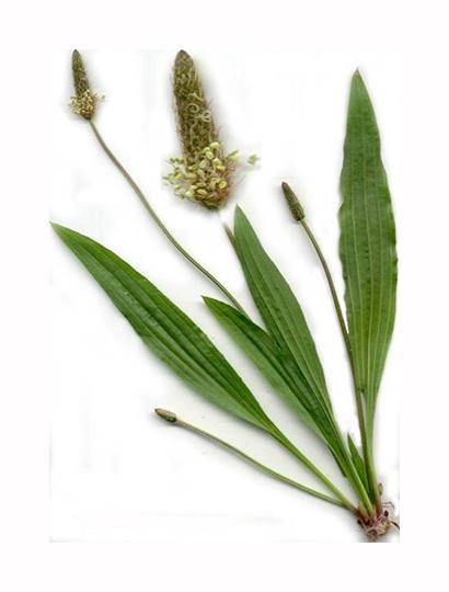 plantain-2-1.jpg