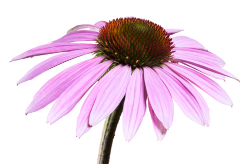 purple-coneflower-1.jpg