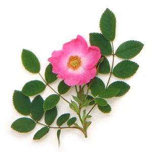 Rosesauv